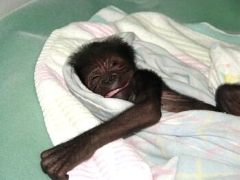 WOW, life is going to be great here at the Gladys Porter Zoo - Baby Western Lowland Gorilla