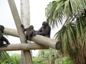 Harambe to the Rescue - Western Lowland Gorillas