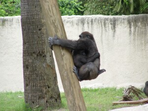 Harambe and Asha - Safely down - Western Lowland Gorillas
